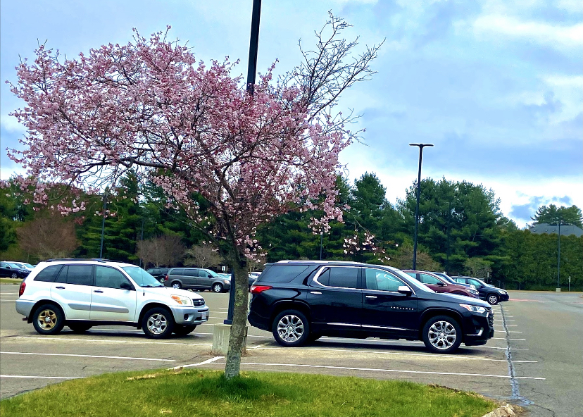 Seniors parked in senior lot as they gained access April 12 | by Veronica Mildish